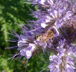 Honigbiene auf Bienenfreund (Phacelia)