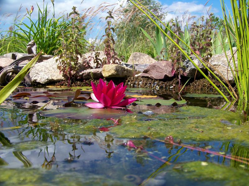 Gartenteich - Gartenteich - Ambiente mit Blüte einer Teichrose und Randbepflanzung