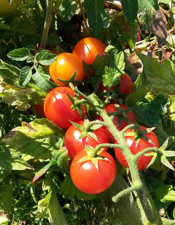 Reife Tomaten, Freiland, Stand 2016/08