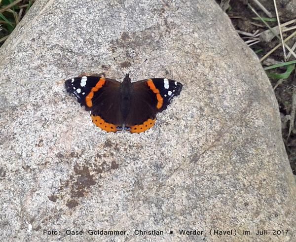 Schmetterling, Admiral auf Feldstein, Handyfoto am 17.07.17