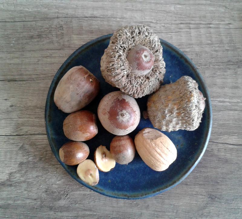 Essbare Eicheln der Sorten Quercus macrocarpa (Klettenfrüchtige Eiche) und Q. michauxii auf Teller fotografiert