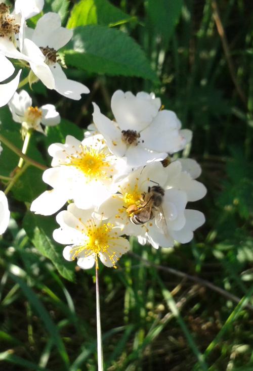 Honigbiene auf Blüte einer Wildrose