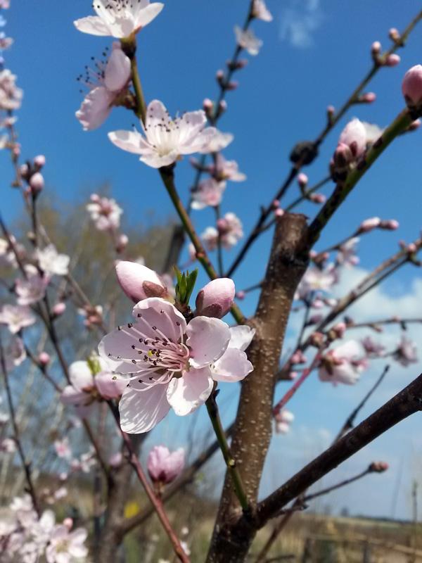 Apriksose in Blüte, Sorte 'Bergeron'