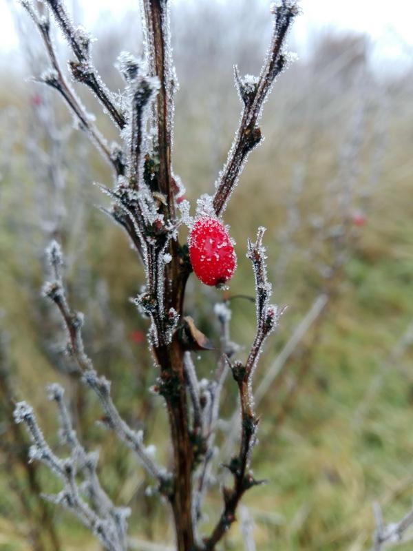 Garten im Winter, Berberitze mit Frucht unter Eiskristallen