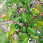 Aprikose, Fruchtansatz Anfang Mai (Wilson Delicious)