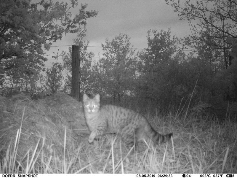Katze, Nachtaufnahme mit Schwarzlicht (DOERR Wildkamera)