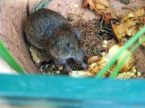 Junge Wühlmaus sucht Futter im Bioabfall