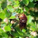 Hornisse (Vespa crabro) beim Nektarschlürfen auf einer Berberitze