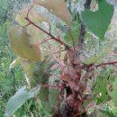 Larven der Gespinstmotte an einem Aprikosen-Bäumchen