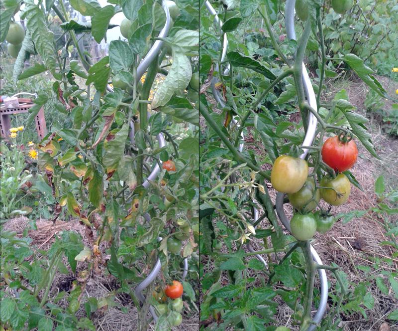Tomaten, Freiland, mit reifendem Fruchtbehang