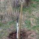 Baumschutz: Manchette oder Baumspirale an Obstkultur