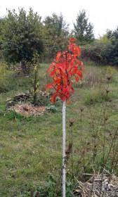 Weißanstrich zum Baumschutz an Kirschpflaume 'Ruby'