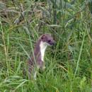Mauswiesel in aufrechter Haltung im hohen Gras